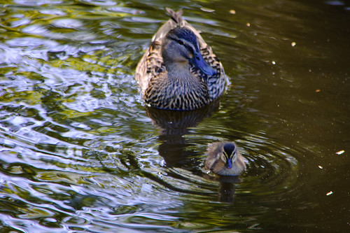 Two sets of ducklings