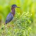 Green Heron ( Lookout ) by billkominsky 