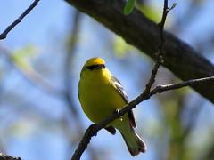 Blue-winged Warbler/ Shawnee Lookout/ 5-8-2018