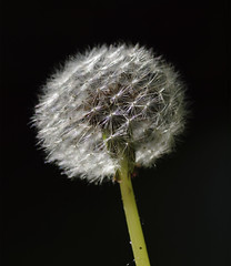 Dandelion - variations I