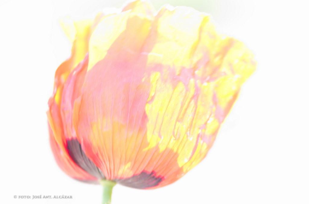 amapola con colores impresionistas