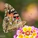 Butterflies in Cyprus 2018