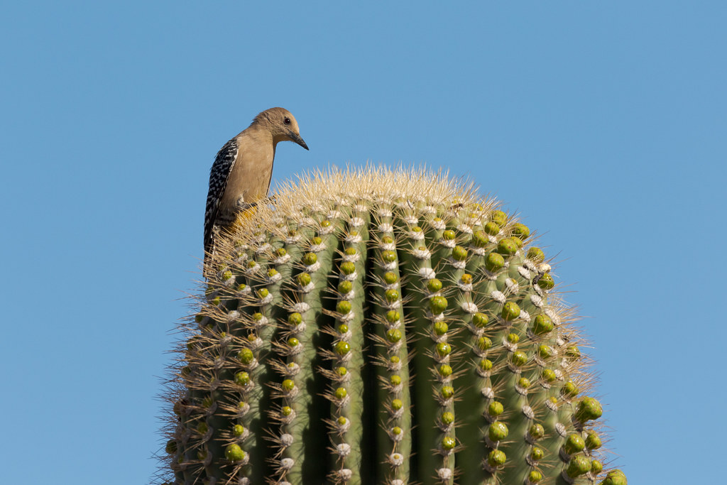 A female Gila woodpecker sits atop a saguaro cactus on the Bajada Nature Trail in McDowell Sonoran Preserve in Scottsdale, Arizona