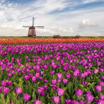 23. Aprill 2018 - 16:46 - Tulips and a windmill under a beautiful clouded sky... So Dutch!