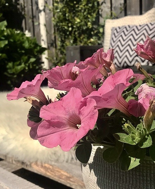 Roze petunia