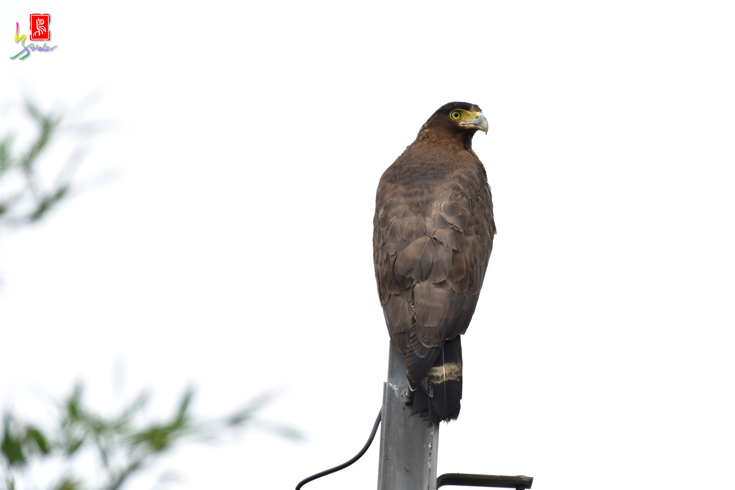 Crested_Serpent_Eagle_5084