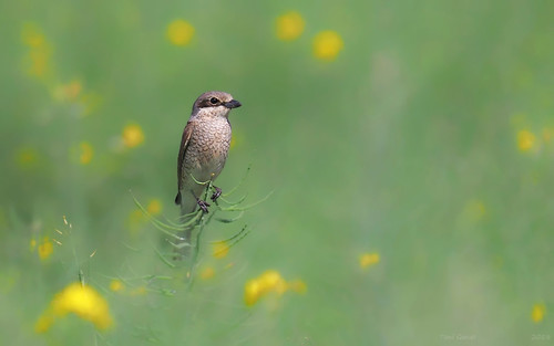 Red-backed shrike in a rapeseed field | by Fraton