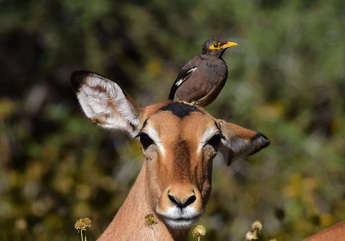 Common Myna  (Acridotheres tristis) & Impala