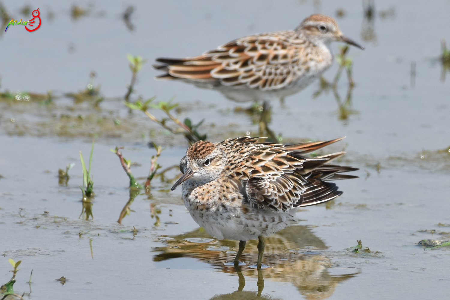 Sharp-tailed_Sandpiper_5603