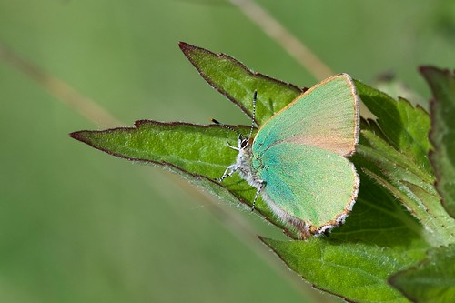 Green Hairstreak (Explored!? 11-05-18)