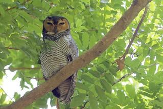 Spotted Wood-Owl (Strix seloputo), Pasir Ris Park, Singapore