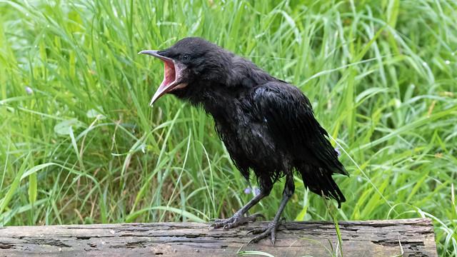 Rook fledgling