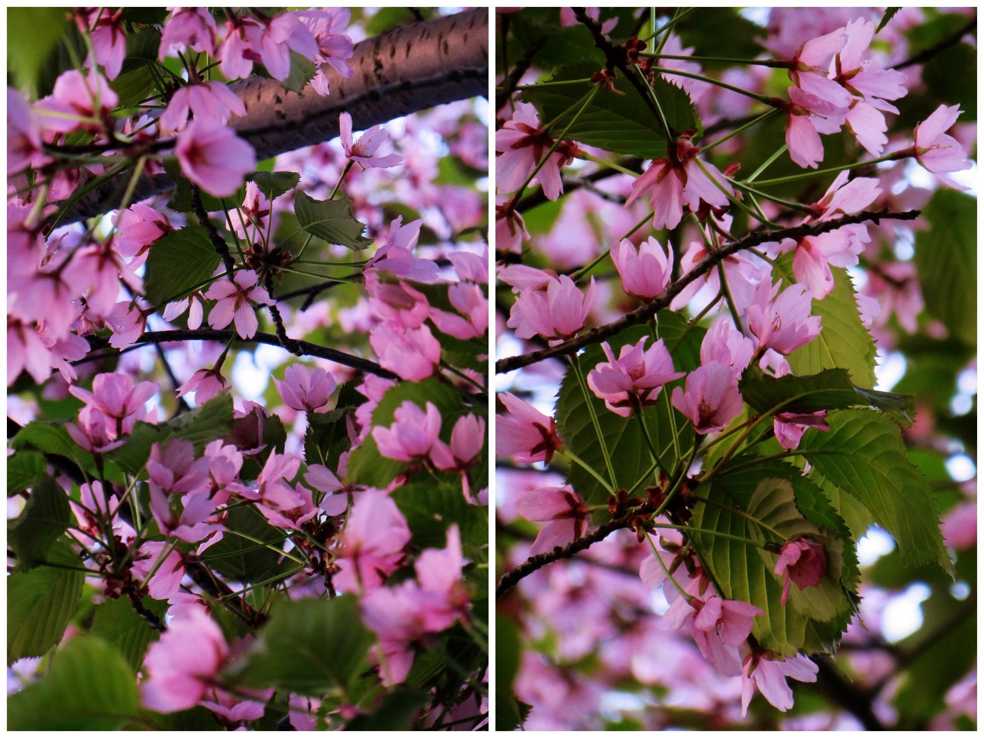 kirsikankukat7