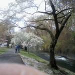 Cherry Blossoms, Branch Brook Park, 2018 - 1