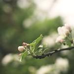20180510-150930 Appletree Spring Garden Bokeh