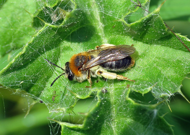 Early Mining Bee - Andrena haemorrhoa
