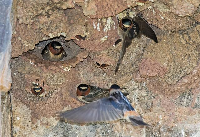 Cliff-Swallows-3-7D2-052218
