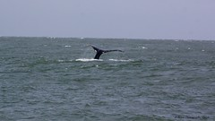 Humpbacks in the Golden Gate Straits