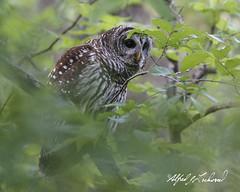 Peekaboo Barred Owl_T3W4206