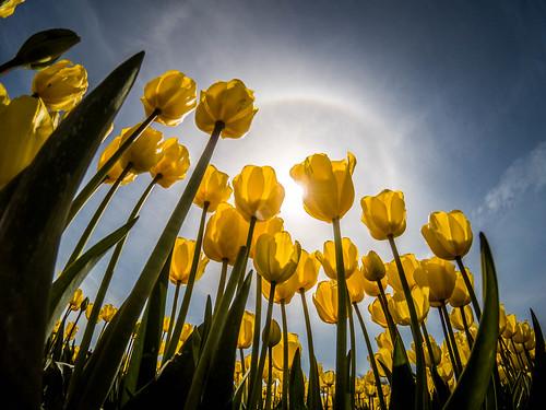 Skagit Valley Tulips-226
