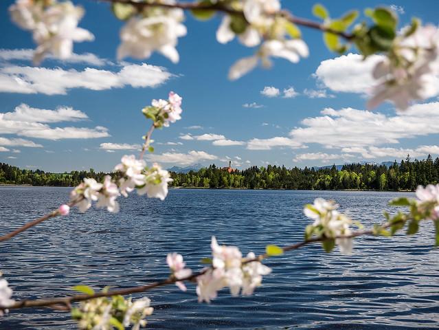 Apfelblüten am Kirchsee