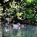 Coot chicks, West Park