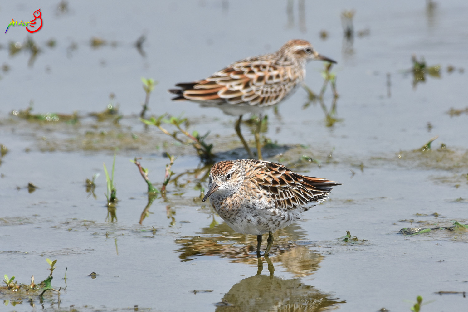 Sharp-tailed_Sandpiper_5560