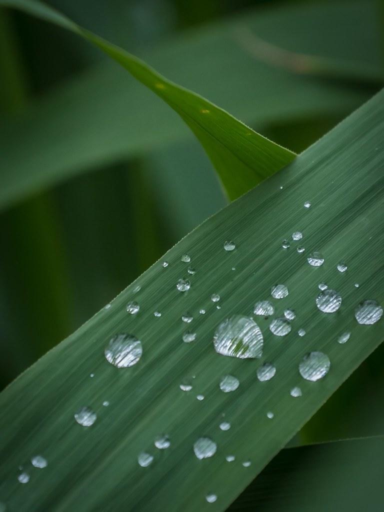 Moi je t'offrirai des perles de pluie... 41207708125_76bfbbd3e2_b
