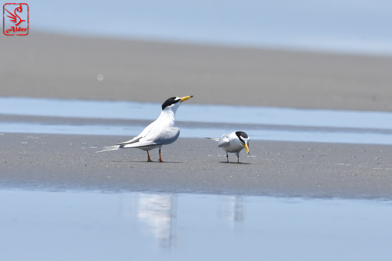 Little_Tern_7834