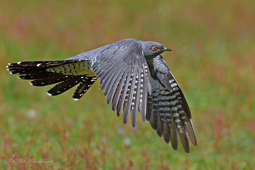 Cuckoo (explored)