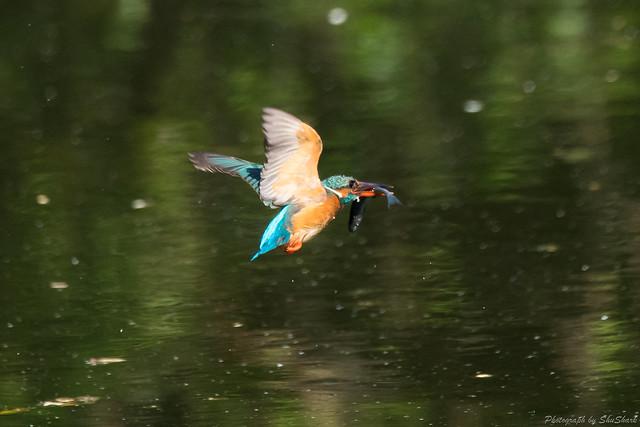 20180512-kingfisher-DSC_2026