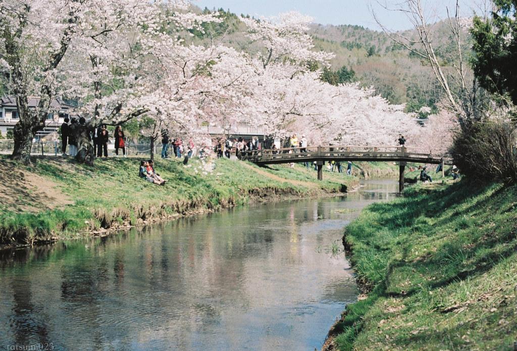 2018-05-20 新名庄川の桜 004