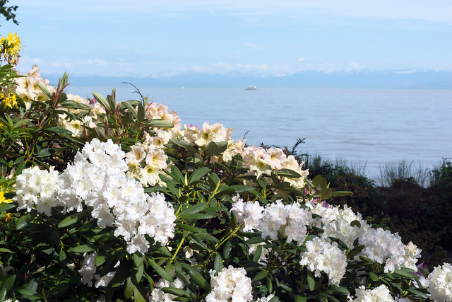 Rhododendron at the Lake Shore