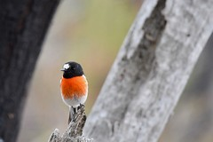 Scarlet Robin  ( between the trees )