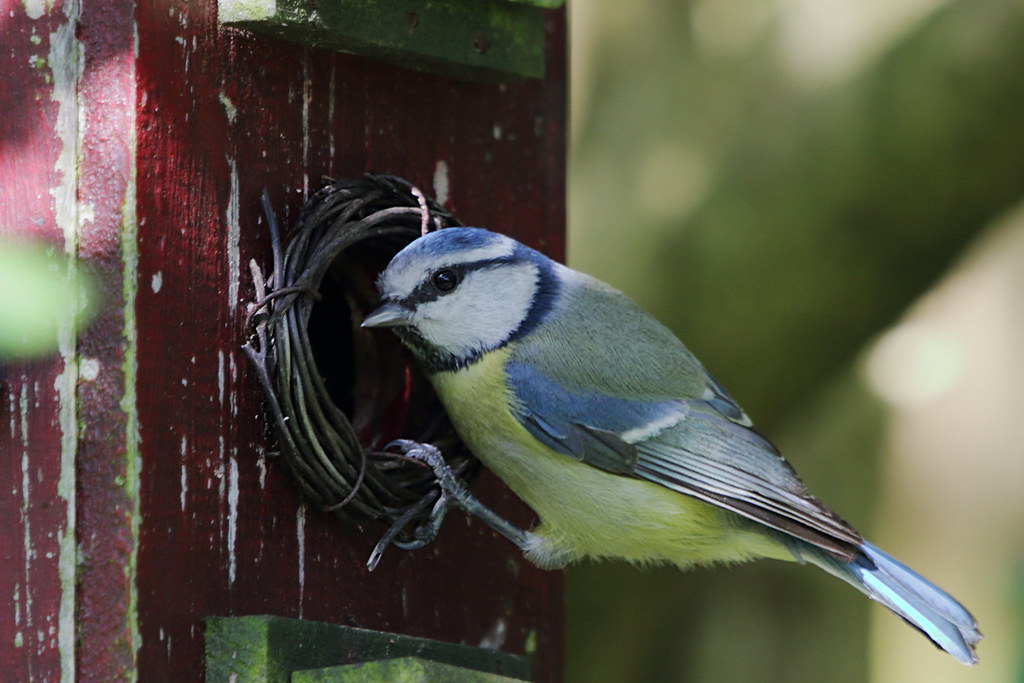 Sping Blue Tit