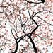 Sakura (桜). by am_kaiser[ღ ஐ .-~*'¨ ¯¨'*·~-.¸ ღ ஐ .-