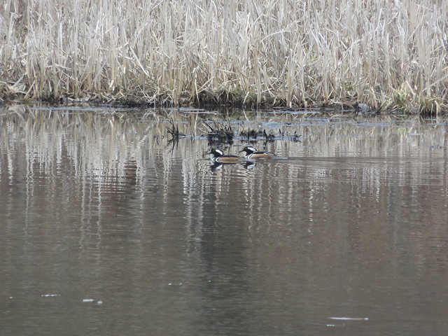 Two Mergansers Swimming By