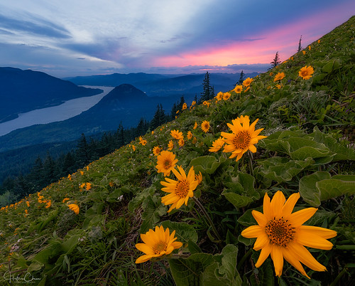 vegetation columbiarivergorge washington sunset dogmountaintrail balsamroot colorclouds mountains wildflowers green twilight spring dogmountain landscape stevenson unitedstates us
