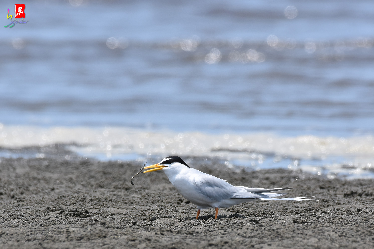 Little_Tern_4616