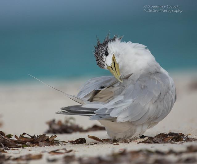 Greater Crested Tern - Thalasseus bergii