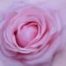 Rose pink dreams.
