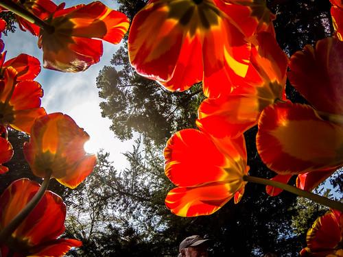 Skagit Valley Tulips-173