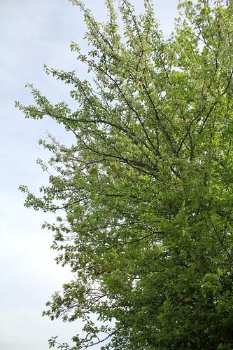 Pyrus pyraster (= communis subps pyraster) - poirier sauvage  28212671488_7d88c82b35