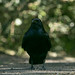 Carrion Crow  11