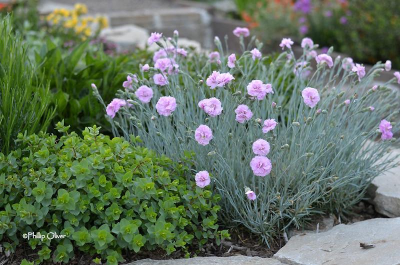 dianthus-rose-de-mai-2
