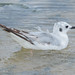 Bonaparte's Gull - 1st Year - May