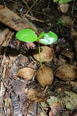 Ochrosia oppositifolia seedling Guam