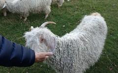 Angora goat at Stonehenge Farm