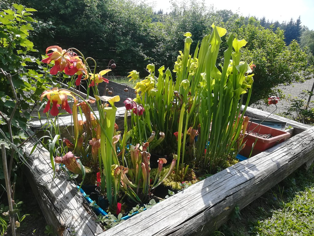 Small Sarracenia Arrangement