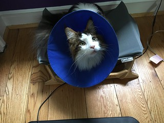 Oliver with his cone after emergency surgery